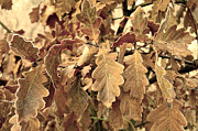 Beauty Mark Acrylic Prints - Several oak leaves  Acrylic Print by Tommy Hammarsten