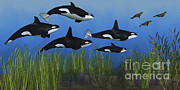 Orca Digital Art Posters - Several Seals Try To Escape From A Pod Poster by Corey Ford