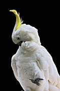 Cockatoo Originals - Sexy Cockatoo by Heng Tan