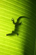 Banana Tree Prints - Seychelles small day gecko Print by Fabrizio Troiani