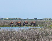 Wild Horses Prints - Shackleford Horses and Friends 3 Print by Cathy Lindsey