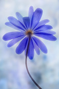 Windflower Prints - Shades of blue II Print by John Edwards