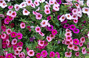 Hanging Baskets Prints - Shades of Pink Print by Aimee L Maher