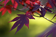 Shades Of Red Prints - Shadow and Light - red leaves Print by Jane Eleanor Nicholas
