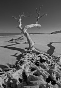 Sepia White Nature Landscapes Posters - Shadows at Driftwood Beach Poster by Debra and Dave Vanderlaan