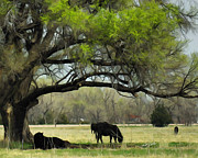 Black Angus Framed Prints - Shady Rest Framed Print by Bill Kesler