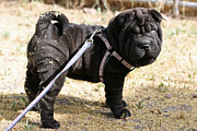 Perros Photos - Shar Pei by Wendi Evans