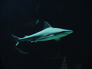 Shark-09451 Print by Gary Gingrich Galleries