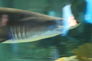 National Prints - Shark - National Aquarium in Baltimore MD - 121211 Print by DC Photographer
