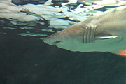 Shark Posters - Shark - National Aquarium in Baltimore MD - 121218 Poster by DC Photographer
