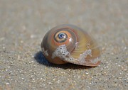 Kathy Baccari - Sharks Eye Sea Snail