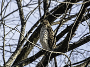 Green Bay Prints - Sharp-Shinned Hawk 1 Print by Thomas Young