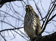 Beach Wildlife Posters - Sharp-Shinned Hawk 2 Poster by Thomas Young