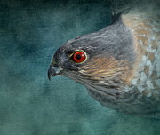 Hawk Bird Art - Sharp Shinned Hawk by Angie Vogel