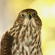 Square Pyrography - Sharp-shinned Hawk by Bob and Jan Shriner
