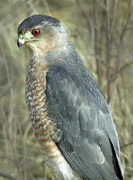 Sharp-shinned Hawk Print by Darleen Stry