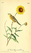 Sunflowers Drawings - Sharp-Tailed Bunting by John James Audubon