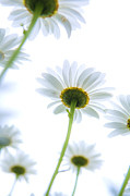 Underneath Prints - Shasta daisies Print by Diane Diederich