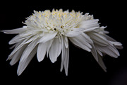Celine Pollard - Shasta Daisy on Black