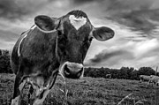 Cows Art - She wears her heart for all to see by Bob Orsillo