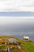 Sharon Sefton - Sheep at Murlough Bay