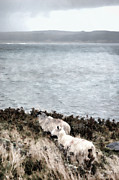 Farming Digital Art - Sheep By The SeaShore by Steve Hurt