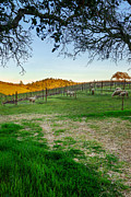 Landscape Pastels Prints - Sheep feeding in vineyard Print by Francesco Emanuele Carucci