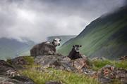 Gouzel - - Sheep