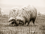 Sheep Photos - Sheep grazing by Gabriela Insuratelu