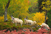 Louise Heusinkveld - Sheep Grazing in Autumn