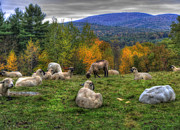 New Hampshire - Sheep Grazing on Mountain  by Joann Vitali