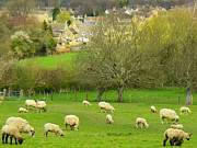 Geobob Prints - Sheep in Classic English Landscape and Pastures near Broadway Village Cotswold District England Print by Robert Ford