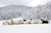 Sheep Farm Prints - Sheep in Heavy Snow Print by Thomas R Fletcher