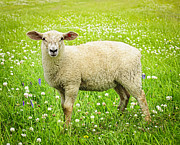 Grass Posters - Sheep in summer meadow Poster by Elena Elisseeva
