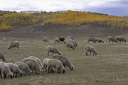 Colorado Springs Mixed Media Prints - Sheep in the Field Print by Renee Skiba