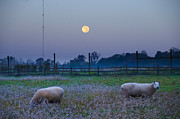 Flourtown Posters - Sheep in the Moonlight Poster by Bill Cannon