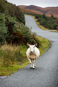 Trotting Photos - Sheep by Jane Rix
