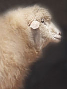 Sheep Prints - Sheep Print by Jill Battaglia