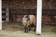 Sheep Framed Prints - Sheep - Mt Vernon - 01132 Framed Print by DC Photographer