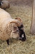 Home Photo Prints - Sheep - Mt Vernon - 01134 Print by DC Photographer