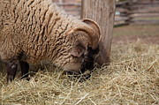 Sheep Prints - Sheep - Mt Vernon - 01135 Print by DC Photographer