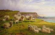 Sheep Prints - Sheep on a Dorset Coast Print by Charles Jones