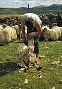 Clippers Prints - Sheep shearing the old way Scotland Print by David Davies