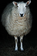Contemplative Posters - Sheep Poster by Stephanie Frey