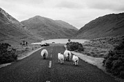 Ewes Art - sheep walking away from camera down the middle of the road Doulough mayo ireland by Joe Fox