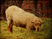 Pamela Phelps - Sheep With An Attitude