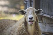 Rhonda McClure - Sheepish Smile