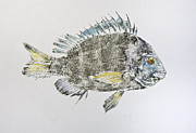 Fish Rubbing Posters - Sheepshead Poster by Nancy Gorr