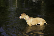 Dog Swimming Metal Prints - Shelby Cooling Off Metal Print by Thomas Young