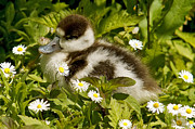 Chick Photographs Framed Prints - Shelduck Chick Framed Print by Lynton Bolton